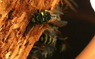 Wespen: Nicht alle sind lästig