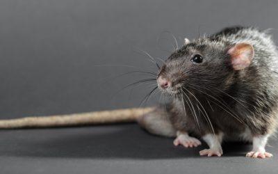 Ran an den Speck: Mäuse- und Rattenplagen richtig bekämpfen