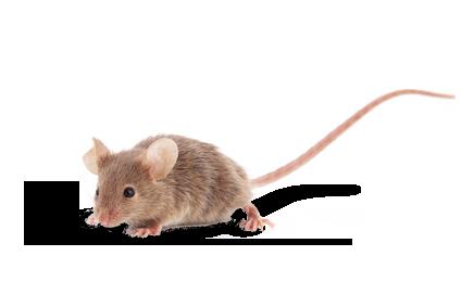Mäuse bekämpfen und Rattenplage