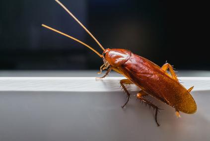 Orientalische Schabe Insekt Control